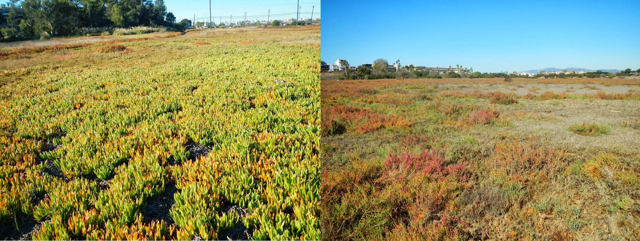 Iceplant_before_after
